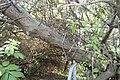 Hippophae rhamnoides bark Westerplatte.JPG