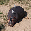 Hippopotamus kruger.jpg