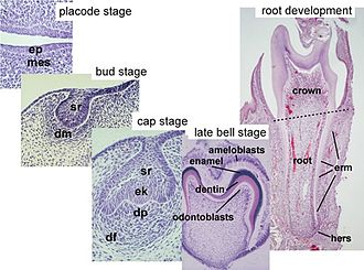 Human tooth development - Histology of important stages of tooth development