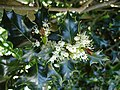 Holly flowers - geograph.org.uk - 171321.jpg