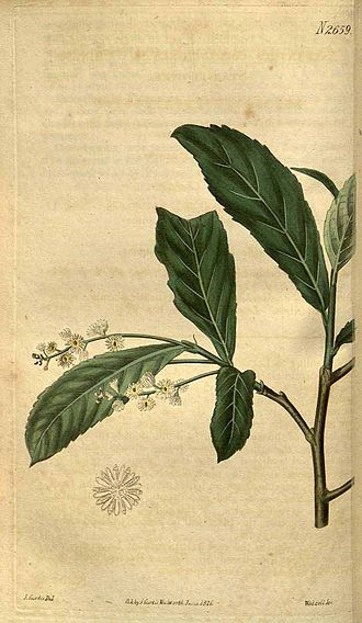 João de Loureiro - Homalium cochinchinensis (Lour.) Druce, first described by Loureiro as Astranthus cochinchinensis Lour.