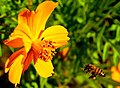 Honey bee with pollen.jpg
