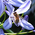 Honeybee Agapanthus close.jpg