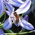 Honeybee Agapanthus close.jpg