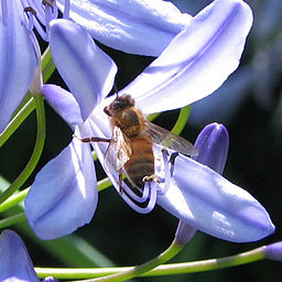 Honeybee Agapanthus close