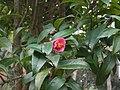 Hong Kong Camellia.JPG