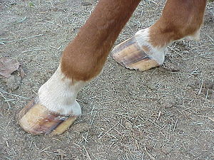 Hoof - Image: Horse rear hooves
