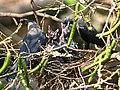 House Crow(Chicks) I IMG 0175.jpg