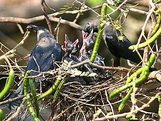 House crow - Parents feeding nestlings