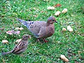 House sparrow and mourning dove.jpg