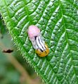 Hover-fly larvae - Flickr - gailhampshire.jpg