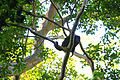 Howler Monkey on Volán Maderas.JPG