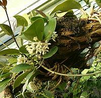 Hoya australis BotGardBln1105InflorescenceHabitus