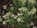 Hubertia ambavilla 02.jpg