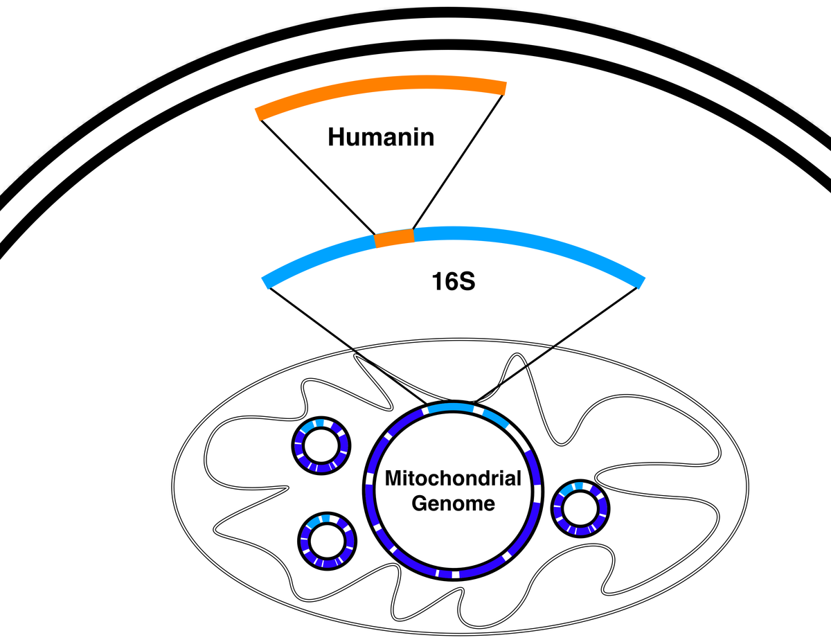 Humanin - Wikipedia