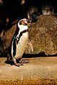 Humboldt Penguin (Spheniscus humboldti).jpg