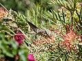 Hummingbird (33521795324).jpg
