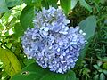 Hydrangea flower changing color with pH.jpg