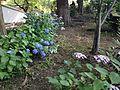 Hydrangea macrophylla in Kozanji Temple.JPG