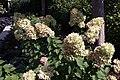 Hydrangea paniculata Limelight 6zz.jpg