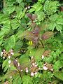 Hydrangea serrata Kiyosumi and Dactylicapnos - Flickr - peganum (1).jpg