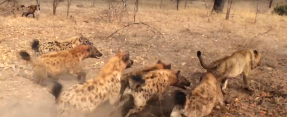 Hyenas Fight Against Lions Over a Kill HD 13