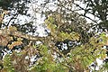 Hymenaea courbaril 16zz.jpg