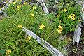 Hypericum kamtschaticum var. senanense 05.jpg