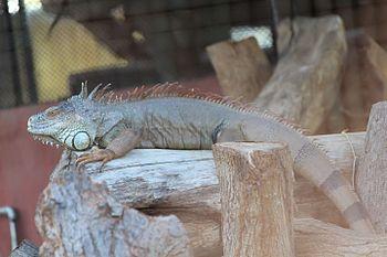 Iguana at at Indira Gandhi Zoological Park, Visakhapatnam.jpg