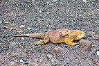 Iguana terrestre (Conolophus subcristatus), isla Santa Cruz, islas Galápagos, Ecuador, 2015-07-26, DD 10.JPG