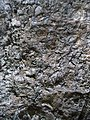 Ilex mitis bark - Kirstenbosch botanical garden - 4.jpg