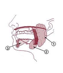 Salivary gland - Wikipedia