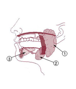 Salivary microbiome - Salivary glands: 1.parotid, 2.submandibular, 3.sublingual.