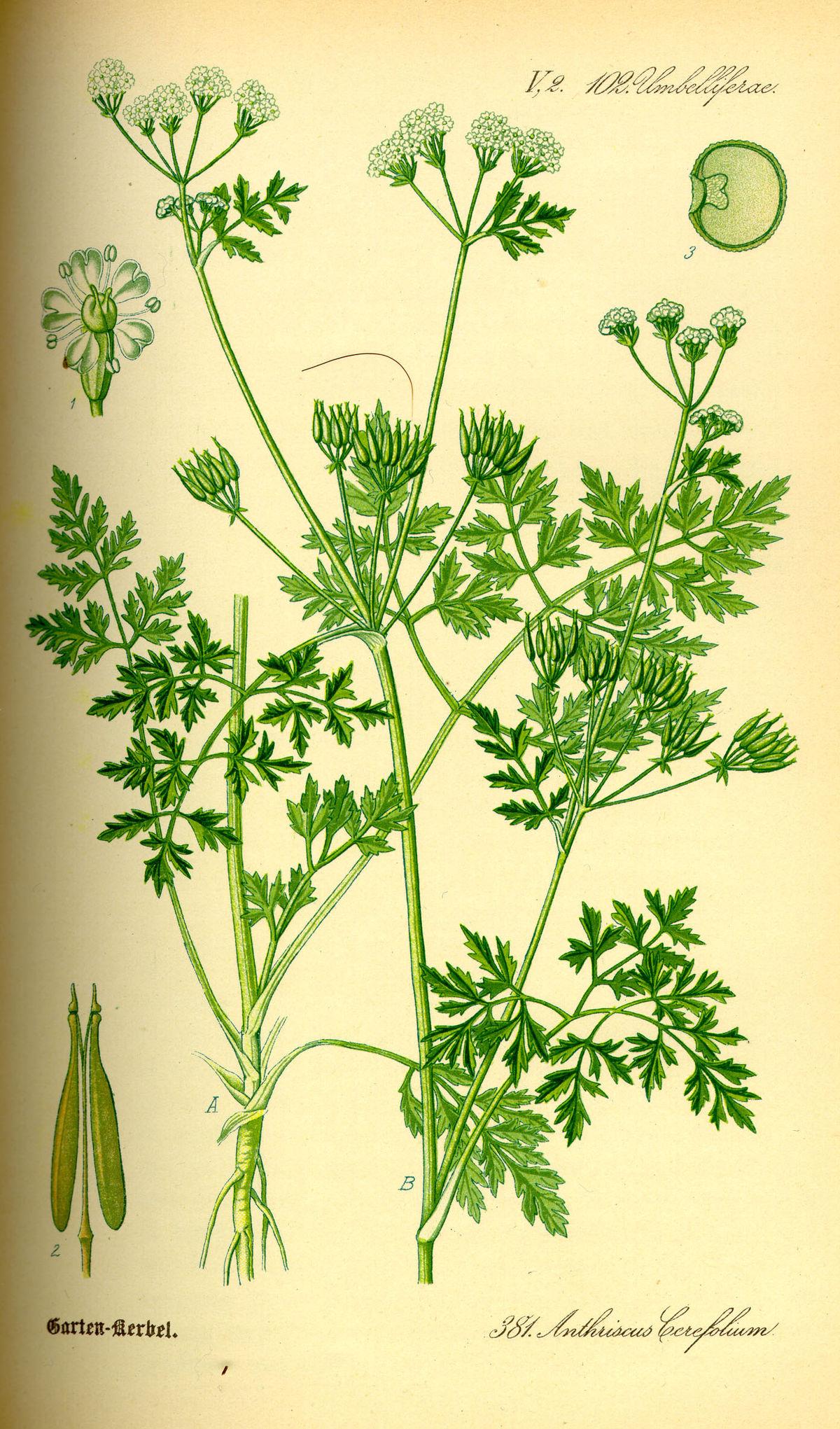 Illustration Anthriscus cerefolium0.jpg