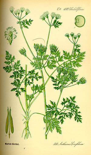 Chervil - Image: Illustration Anthriscus cerefolium 0