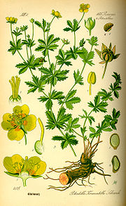 Illustration Potentilla erecta0.jpg
