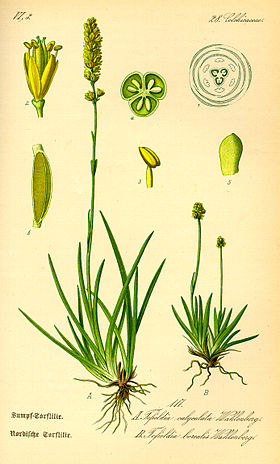 Illustration Tofieldia calyculata0.jpg