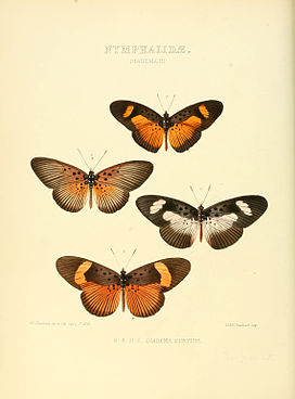 Illustrations of new species of exotic butterflies Diadema III.jpg