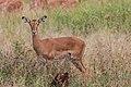 Impala - Tarangire National Park - Tanzania-6 (34980945151).jpg