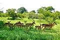 Impalas (Aepyceros melampus) herd ... (51135041318).jpg