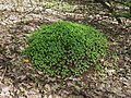 Impatiens parviflora ant-hill Kiev1.jpg