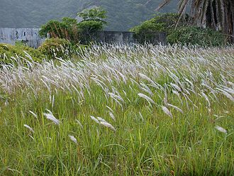 Imperata cylindrica - Imperata cylindrica in Susami, Wakayama, Japan with mature seed heads