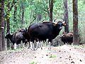 Indian Gaur at Kanha.jpg