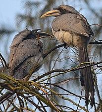 Indian GreyHornbill.JPG