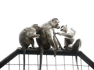 Social grooming - Image: Indian Macaques grooming