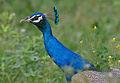 Indian Peacock (Pavo cristatus) near Hodal I Picture 2171.jpg