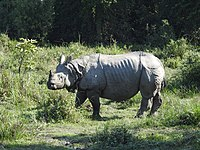 Indian Rhinoceros Rhinoceros unicornis by Dr. Raju Kasambe (5).JPG
