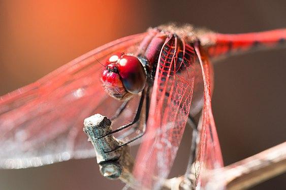Insekten Großlibelle.jpg