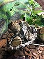Instituto Butantan 2016 013 - Garden tree boa.jpg