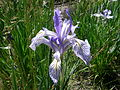 Iris in the Cinder Butte Allotment (13992050830).jpg